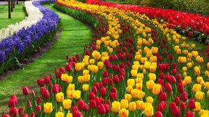 holl-michigan-tulip-festival-297434